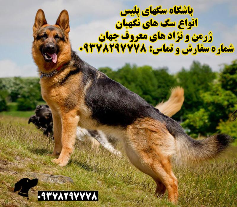 سگ نگهبان پلیس dog 1 قیمت سگ نگهبان پلیس ژرمن cop police guard dog